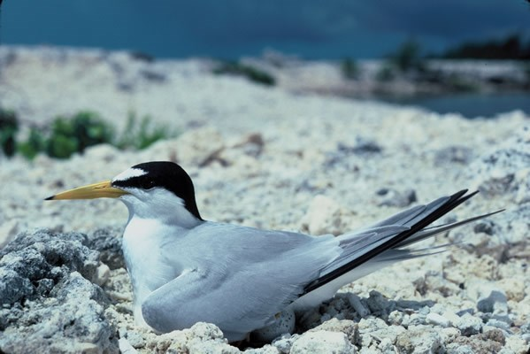 a photo of least tern
