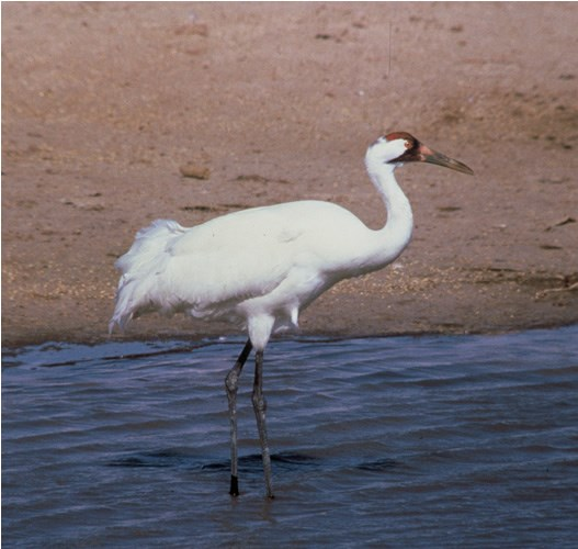 a photo of whooping crane
