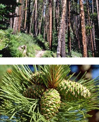 Lodgepole pine forest and pine cones