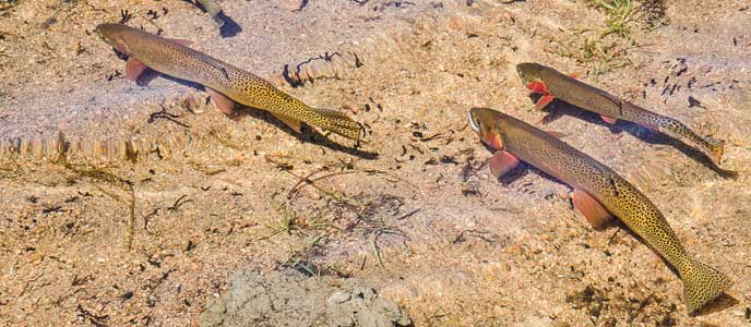 Cutthroat trout in water
