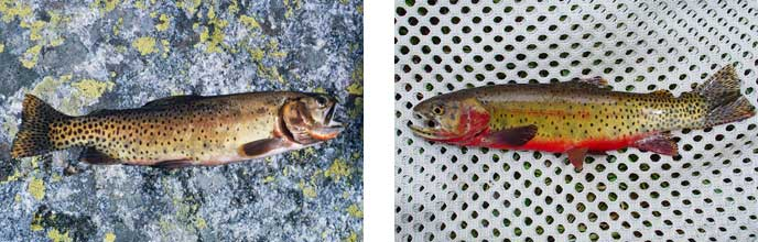 Native Colorado Cutthroat and Greenback Cutthroat trout