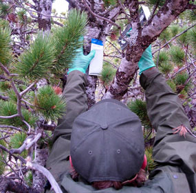 Park staff affix verbenone packets on limber pine trees