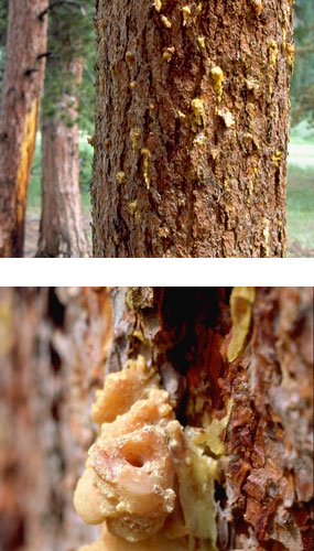 Pitch tubes in tree produced by invading mountain pine beetles