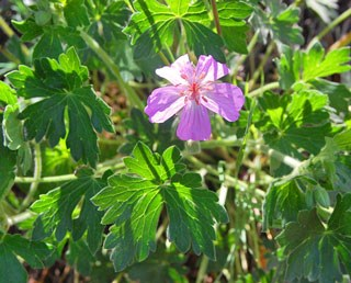 Photo of Fremont Geranium