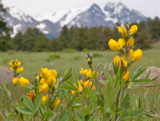 Yellow Orange Flowers Rocky Mountain National Park Us