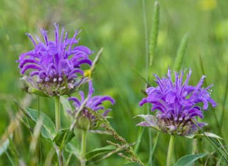 Photo of Horsemint