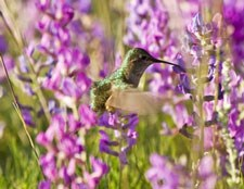 Photo of a hummingbird pollinating flowers