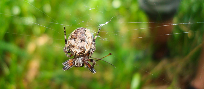 An orb weaver spider on its web