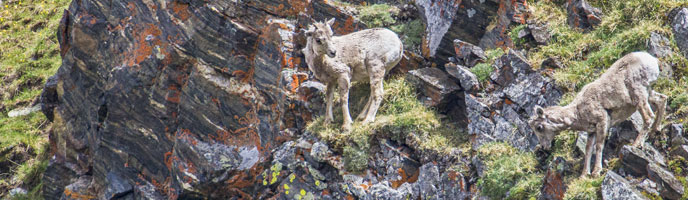 Bighorn Sheep on alpine cliff
