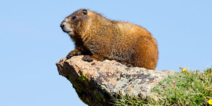 Yellow-bellied marmot on a rock