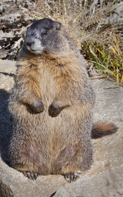 Marmot fattened up for hibernation