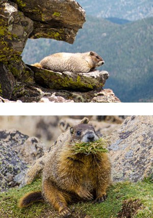 Marmot on a rock, marmot eating vegetation