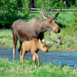 moose perl