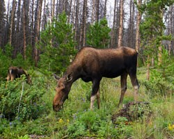 cow moose and calf eat vegetation