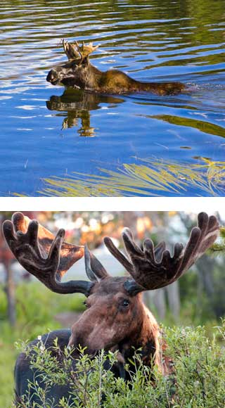 Bull moose swimming and Bull moose with velvet antlers