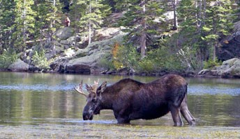 Visitor watches a bull moose in Bear Lake from a distance