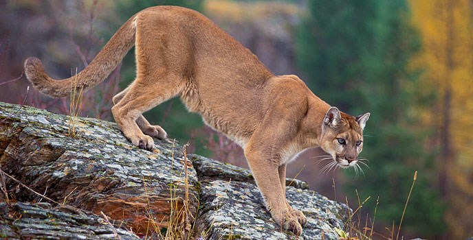 Mountain lion stalks from a rock