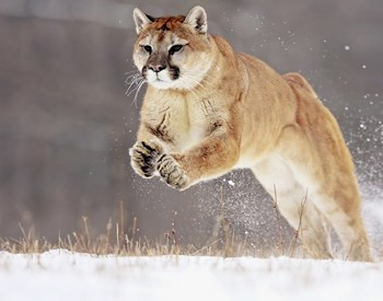 mountain lion running