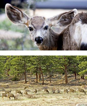Mule deer and mule deer herd