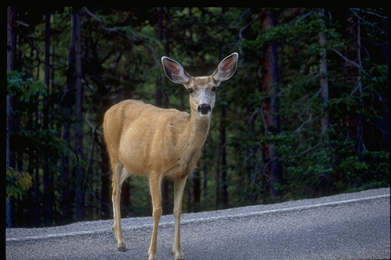 a photo of a mule deer doe