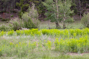 Leafy spurge patches in Upper Beaver Meadows