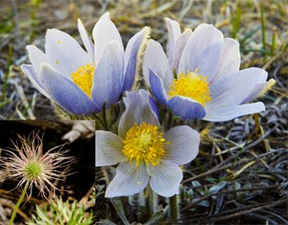 Photo of Pasqueflower
