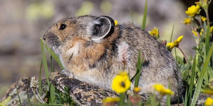 Pika rests in alpine grass