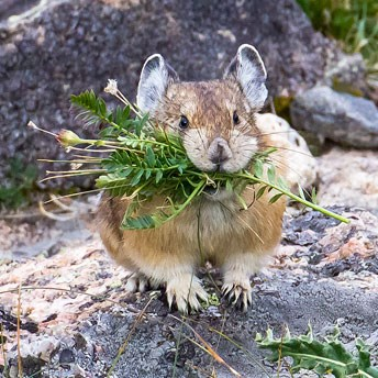 Pika with vegetation in its mouth