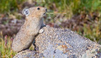 Pika Rocky Mountain National Park U S National Park