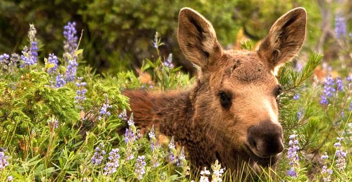 Moose laying in flowers