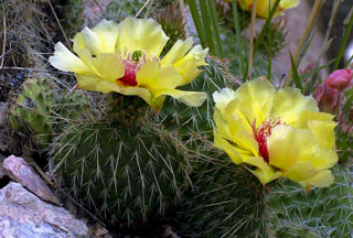 Photo of Plains Prickly Pear