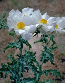 Photo of Bristly Pricklypoppy
