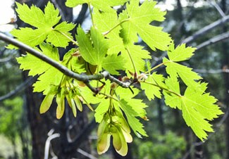 Photo of Rocky Mountain Maple