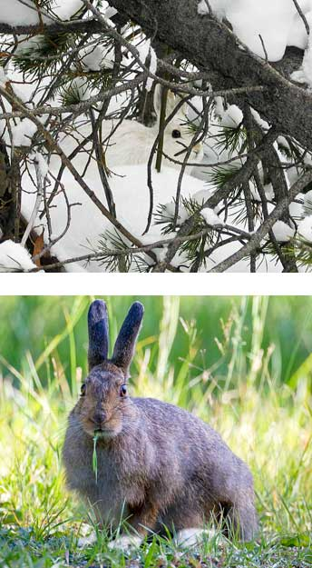 Snowshoe hare in white winter coat and a snowshoe hare in the brown summer coat