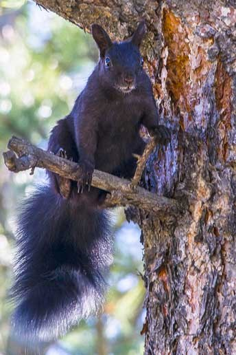 Abert's squirrel on a tree branch