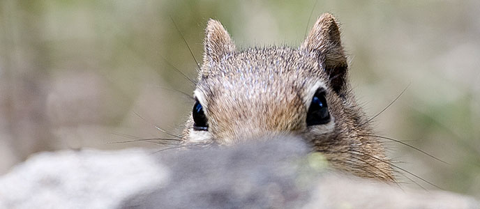 squirrel peaking over a rock