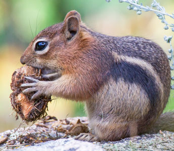 golden-mantled ground squirrel eating a pine cone