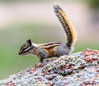 Least Chipmunk on a rock