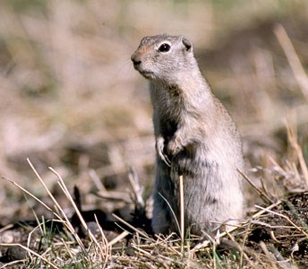 Wyoming ground squirrel stands alert