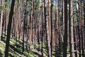 Lodgepole pine tree forest