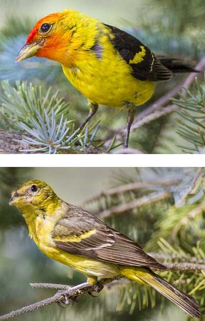 western tanager male and female