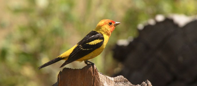 Western Tanager on a log