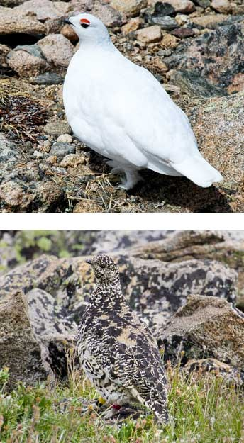 Ptarmigan with white winter feathers and a ptarmigan with speckled brown summer feathers