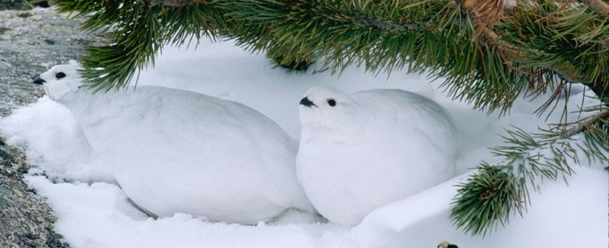 A pair of white white-tailed ptarmigans in snow