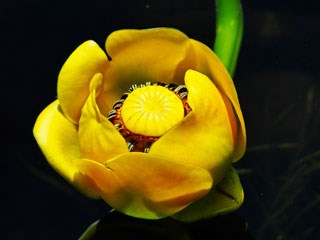 Yellow orange flowers rocky mountain national park us photo of yellow pond lily mightylinksfo