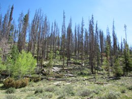 Photo of trees killed by Mountain Pine Beetle.