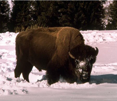 a photo of a bison