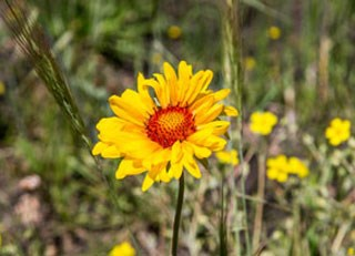 Yellow orange flowers rocky mountain national park us photo of blanket flower mightylinksfo