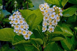 Photo of Chokecherry blossoms