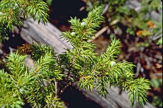 Photo of Common Juniper